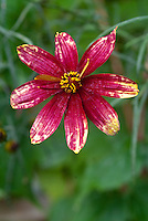 Coreopsis verticillata Route 66 flower red and yellow