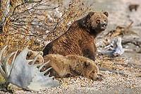 Coastal bear sow and twin spring cubs, Naknek lake, Katmai National Park, Alaska