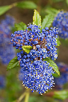 Ceanothus 'Concha' closeup of blue flower cluster