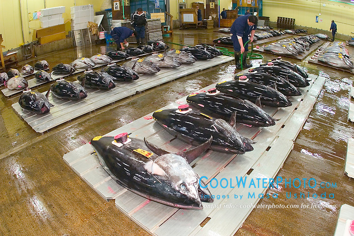 wholesalers setting raw bluefin tunas, Thunnus sp.,  set for auction, Tsukiji Fish Market or Tokyo Metropolitan Central Whalesale Market, the world's largest fish market  hadling over 2500 tons and over 400 different kind of fresh sea food per day