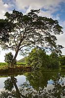 Brazilian Rain Tree hangs over the Mossman River, Daintree, Queensland, Australia