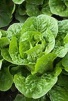 Closeup of Lettuce Little Gem salad vegetable growing