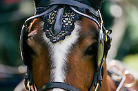 Horse in ceremonial tack harnessed to driving carriage, Windsor, England