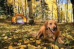 Golden retriever relaxing in campsite under autumn aspens, Gunnison National Forest, Colorado