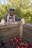 Jamaican migrant farm workers pick apples at Allenholm Farms in South Hero, VT