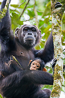 Wild Chimpanzee and her young baby in Kibale National Forest, Uganda, East Africa