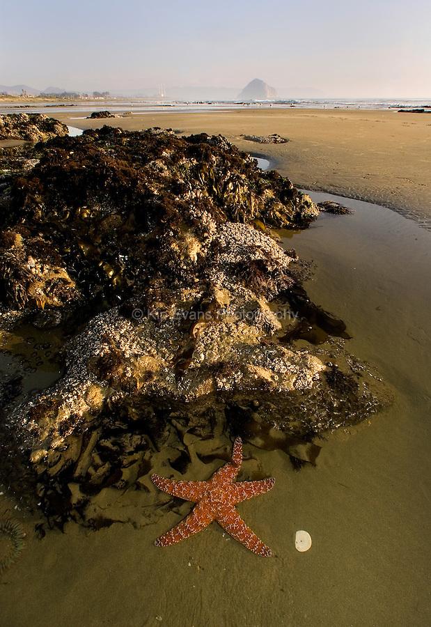 A starfish sits in a tide pool at Morro Stand State Beach, Morro Bay CA