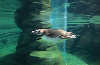 Humboldt penguin (Spheniscus humboldti), a vulnerable species of South American penguin, swimming in the tank in the Zone Patagonie of the new Parc Zoologique de Paris or Zoo de Vincennes, (Zoological Gardens of Paris or Vincennes Zoo), which reopened April 2014, part of the Musee National d'Histoire Naturelle (National Museum of Natural History), 12th arrondissement, Paris, France. Picture by Manuel Cohen