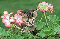 "Grey tabby kitten peeks between pink geranium flowers in garden, on a ""help the Humane Society"" photo day, Midwest USA"