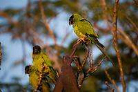 Aquidauana_MS, Brasil....Papagaios no galho de uma arvore da fazenda Rio Negro no Pantanal...Parrots on the branch tree in the Rio Negro farm in Pantanal...Foto: JOAO MARCOS ROSA / NITRO