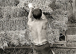 Young man with strong back bailing and loading hay on wagon.