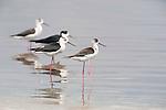 Black Winged Stilt, Himantopus himantopus, Lesvos Island, Greece, Migrant summer visitor, wading in water, , lesbos