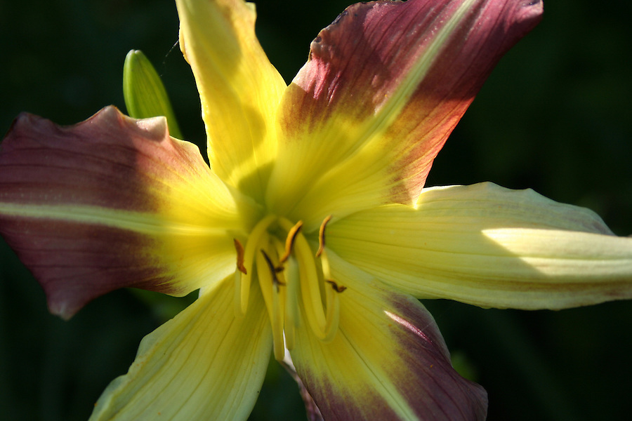 Daylily with yellow and purple backlit by sunlight