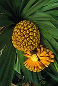 """Hala fruit, """"""""false pineapple"""""""" (pandanus odoratissimus)"""