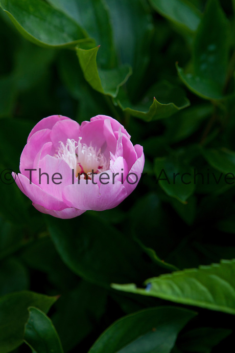 Portrait of pink peony (Paeonia 'Bowl of Beauty')