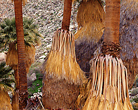 CADAB 126 - Trunks of California fan palms (Washingtonia filifera) with old, dead leaves, Palm Bowl Grove, Mountain Palm Springs, Anza-Borrego Desert State Park, California, USA --- (4x5 inch original, File size: 6133x4800, 84.2mb uncompressed)