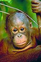 Orangutan, pongo pigmaeus - A juvenille orangutan holds onto a branch in the rainforest, apes. South-Central Kalimantan Borneo Indonesia Rainforest.