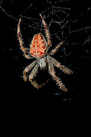 European Garden Spider (Araneus diadematus) on its web at night.
