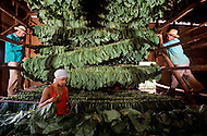 Cuba, March 1992: The tobacco leaves are hung on the 'cujes' and stored inside the Casa de Tobaco, a traditional a tobacco drying house to dry and ferment.