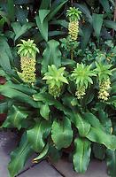 Eucomis bicolor (Pineapple Lily) summer flowering exotic bulb, makes dramatic plant specimen
