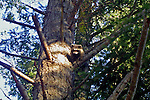 raccoon in a tree in the afternoon on Henry Island in the San Juan Islands, wary of pursuit