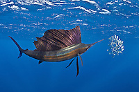 RG42140-Dm. Atlantic Sailfish (Istiophorus albicans) feeding on Spanish sardines (Sardinella aurita). Gulf of Mexico, Mexico, Caribbean Sea.<br /> Photo Copyright &copy; Brandon Cole. All rights reserved worldwide.  www.brandoncole.com