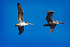 Flying Brown Pelicans over Rodeo Beach, GGNRA, California