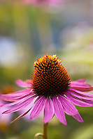 Echinacea 'Hot Lava'.A new echinacea for 2010 from Terra Nova Nurseries. Deep orange red petals with even deeper red cones. A great cut flower due to its strong stems. The flower is not quite as deep as this picture but still the deepest orange yet