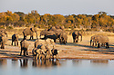 Zimbabwe, Hwange National Park, African elephant (Loxodonta africana) herd at  water hole