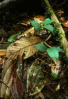 Seedlings in rainforest litter, Chocó Departent, Colombia