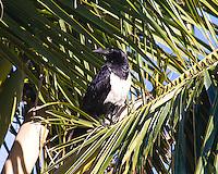 Pied Crow, Tofu Beach, Mozambique