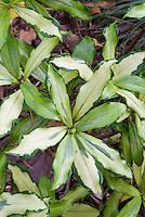 Daphne odora Nakabuye variegated foliage