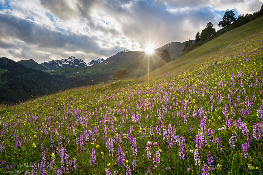 Meadow of Fragrant Orchids (Gymnadenia conopsea) at sunset. Tirol, Austrian Alps, Austria, June.