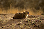 North America, Americas, USA, United States, Arizona. Arizona-Sonora Desert Museum. Black-tailed Prairie Dog resting near burrow.