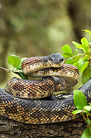 464350022 wild texas rat snake elaphe obsoleta lindeimeri  coiled in striking position on a tree branch in the texas hill country in central texas