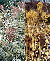 Miscanthus sinensis Variegata in two phases, summer flowers and winter dried