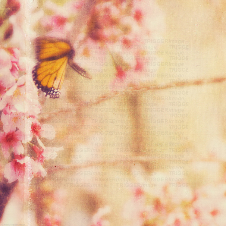 butterfly in motion with cherry blossoms