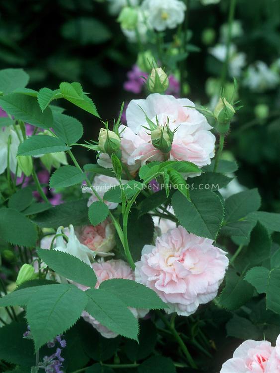Rosa De Meaux, Centifolia Rose, pale pink heirloom antique old roses