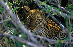 East Africa, Kenya. Leopard in hiding
