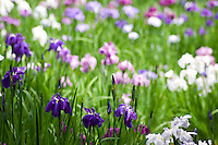 On my first trip to Japan, I remember vividly rivers of blue and purple Japanese irises blooming in the formal gardens, a magical beauty. In the Meiji Jingu Gyoen gardens, the Meiji Empress' flowers are a pool of colours, breathtaking after a summer rain.