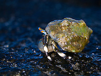 A close-up image of a hermit crab crawling across the wet rocks of the Big Island's coastline.