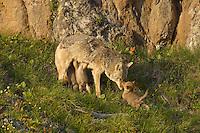 Wild Coyote (Canis latrans) mom nursing pups.  Western U.S., June.......