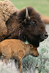 American bison with calf, Yellowstone National Park, Wyoming, USA