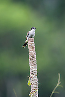 A Loggerhead Kingbird (Tyrannus caudifasciatus) at a favored lookout perch in Hacienda Cortina, Pinar del Rio Province, Cuba