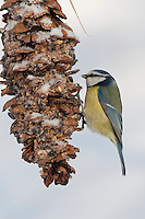 Blaumeise, an der Vogelfütterung, Fütterung im Winter bei Schnee, an mit Fettfutter gefüllten Zapfen, selbstgemachtes Vogelfutter, Winterfütterung, Blau-Meise, Meise, Cyanistes caeruleus, Parus caeruleus, blue tit