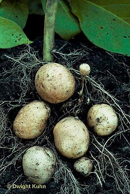 HS05-016e  Potato - growing underground