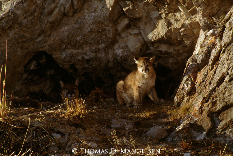 Mother mountain lion lying in den with cub sitting outside in the National Elk Refuge in Jackson Hole, WY