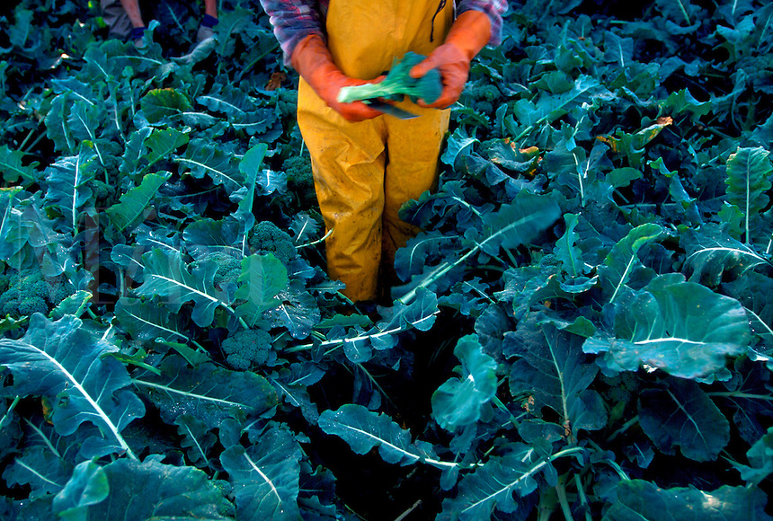 Migrant worker picking broccoli near King City, California