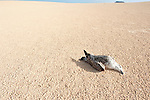 Dead Gull on sand dune, Corralejo Dunes National Park (Parque Natural de las Dunas de Corralejo), Fuerteventura, Canary Islands, Spain