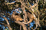 Two Lumholtz's Tree-kangaroo (Dendrolagus lumholtzi) high up on a tree.  The Lumholtz's tree-kangaroo is primarily a leaf eater, but also occasionally consumes fruits and flowers from quite a wide variety of native rainforest trees. It is also known to feed on the leaves of wild tobacco and lantana, both invasive weeds. A heavy-bodied tree-kangaroo is found in rain forests of the Atherton Tableland.  Its status is classified as least concern by the IUCN, although local authorities classify it as rare. It is named after the Norwegian explorer Carl Sofus Lumholtz. It is the smallest of all tree-kangaroos, with males weighing an average of 7.2 kg (16 lbs) and females 5.9 kg (13 lbs).[5] Its head and body length ranges from 480–650 mm, and its tail, 600–740 mm.[6] It has powerful limbs and has short, grizzled grey fur. Its muzzle, toes and tip of tail are black.
